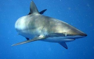 1024px-carcharhinus_falciformis_off_cuba