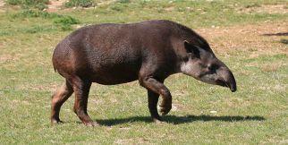 1024px-tapirus_terrestris_2_by_jm_rosier