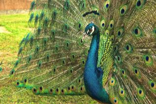 1280px-pavo_real_comun