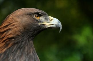 1280px-steinadler_aquila_chrysaetos_closeup2_richard_bartz