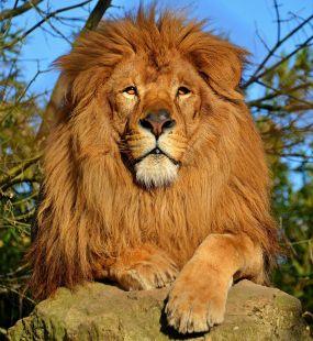 940px-lion_dafrique